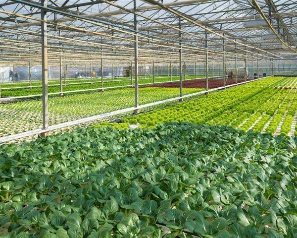 蔬菜連棟溫室大棚