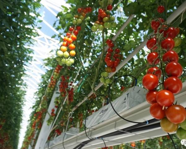 西红柿蔬菜大棚