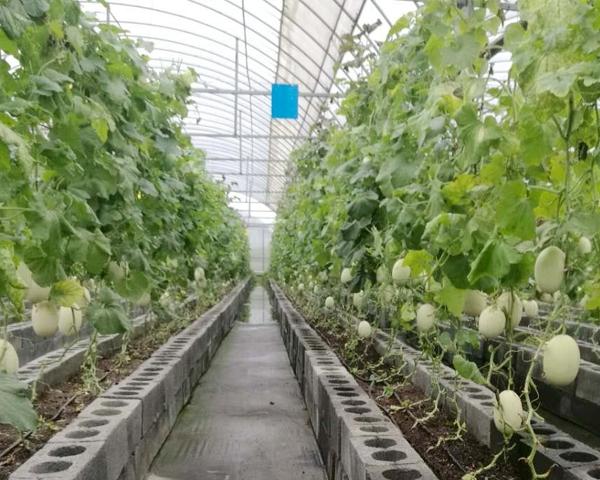 香瓜溫室大棚